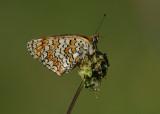 Knoopkruidparelmoervlinder - Knapweed Fritillary