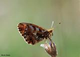 Paarse Parelmoervlinder -  Violet Fritillary