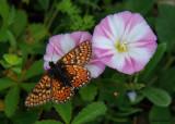 Moerasparelmoervlinder - Marsh Fritillary