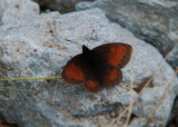 Alpenzijde-erebia - Mnestra's Ringlet