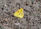 Zuidelijke Luzernevlinder - Berger's clouded yellow
