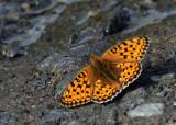 Duinparelmoervlinder - Niobe Fritillary