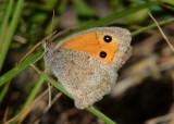 Grauw Zandoogje -  Dusky meadow brown