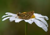 Kommavlinder - Silver-spotted Skipper