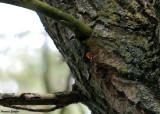 Kleine Weerschijnvlinder  - Lesser Purple Emperor