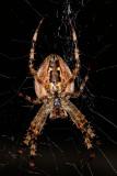 Cross Orbweaver (Araneus diadematus) - ventral view