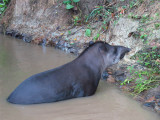 Pet Tapir at Ceiba Tops