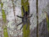 Large tarantula on a flooded ceiba tree