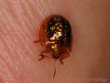 Tiny gold beetle