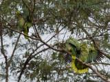 Parrot Displaying