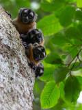 Night Monkey (Aotus vociferans)