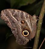 Butterfly in terra-firma forest