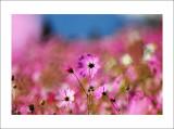 ºÖ¹Ø¤sªi´µµâ Autumn Beauty - Field of Cosmos