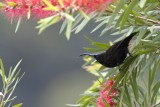 Sunbird ♂