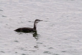Red-throated  Loon seen on Christmas Bird Count