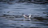 Bonaparte's Gull seen on Christmas Bird Count