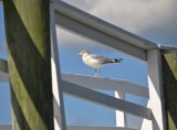 The Gull Who Framed Himself