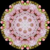 kallat4873a_Starry_Kalmia latifolia
