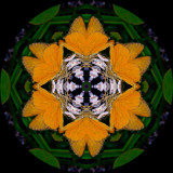 asccur3057h_Skipper Heaven_Asclepias curtissii.jpg