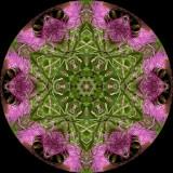 cirhor7752e_Guarded_Purple Thistle