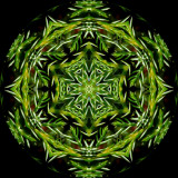 junhor4620i_Juniper Maze_Creeping Juniper