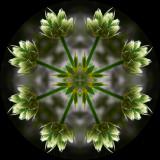 erycun1189_Arise_Eryngium cuneifolium
