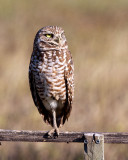 IMG_0126 Burrowing Owl.jpg