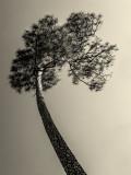 Pine III