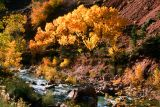 Yellow Cottonwood on River