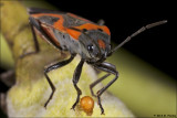 Milkweed Bug with ?