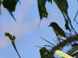 32 Yellow-Olive Flycatcher.jpg
