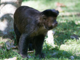33 Brown Capuchin.jpg