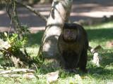 34 Brown Capuchin.jpg