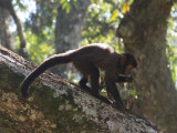 36 Brown Capuchin.jpg