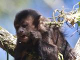 37 Brown Capuchin.jpg
