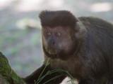 38 Brown Capuchin.jpg