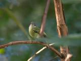 48 Yellow-Olive Flycatcher.jpg