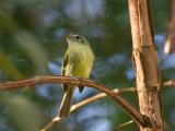 49 Yellow-olive Flycatcher.jpg