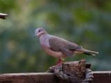 58 White-tipped Dove.jpg