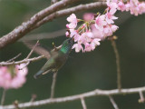 63 Versicolored Hummingbird.jpg