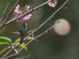 64 Versicolored Hummingbird.jpg