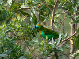 65 Brassy-breasted Tanager.jpg