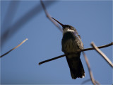 67 White-throated Hummingbird.jpg