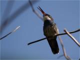 68 White-throated Hummingbird.jpg