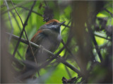80 Rufous-capped Spinetail.jpg