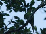 85 White-eyed Parakeet.jpg