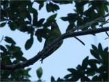 86 White-eyed Parakeet.jpg
