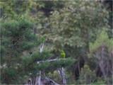 87 White-eyed Parakeet.jpg