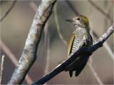 92 Yellow-eared Woodpecker.jpg