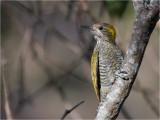 93 Yellow-eared Woodpecker.jpg